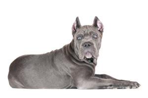 Fotos Hunde Grau Cane Corso Italiano Tiere