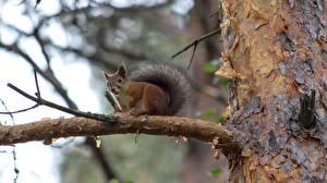 Hintergrundbilder Nagetiere Eichhörnchen Ast Baumstamm Tiere