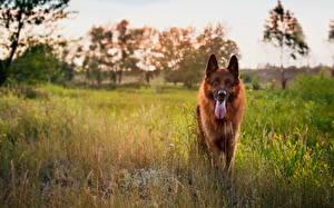 Hintergrundbilder Hunde Deutscher Schäferhund Shepherd Gras Tiere
