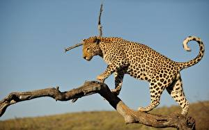 Fotos Große Katze Leopard Ast Tiere