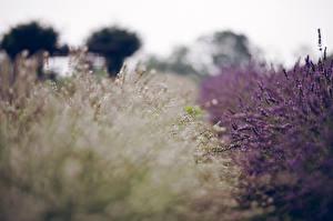 Bilder Lavendel Großansicht Blumen