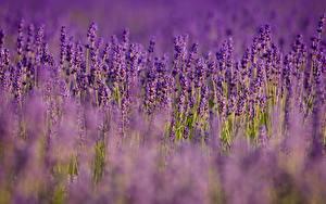 Bilder Lavendel Viel