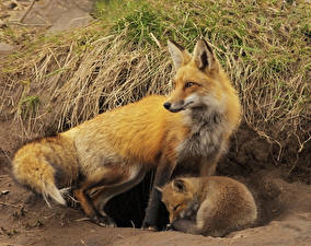Pictures Foxes 2 Animals