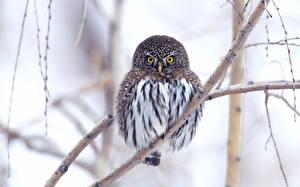 Bilder Vögel Eulen Ast ein Tier
