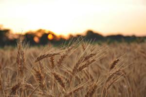 Fotos Felder Großansicht Weizen Ähre