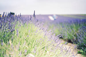 Hintergrundbilder Lavendel Felder Blüte