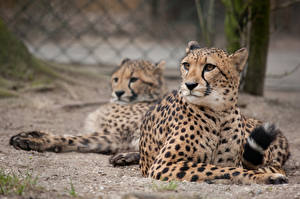 Pictures Big cats Cheetahs 2 Animals