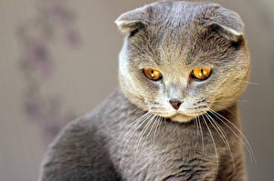 Hintergrundbilder Hauskatze Graue Schnurrhaare Vibrisse Tiere