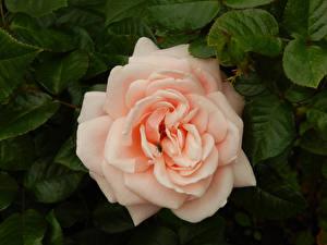 Bureaubladachtergronden Roos Vliegen bloem