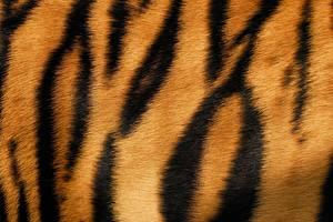 Tapety na pulpit Tekstura Tygrys azjatycki Zbliżenie