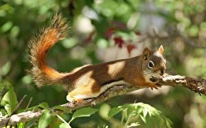 Bilder Nagetiere Hörnchen Ast Tiere