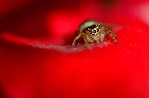 Bilder Gliederfüßer Webspinnen Springspinnen