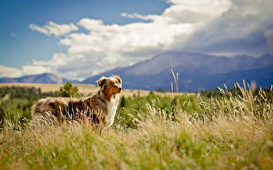 Hintergrundbilder Hunde Shepherd Gras Australian Shepherd Tiere