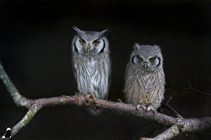 Pictures Birds Owls Two Branches Animals