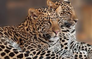 Picture Big cats Leopards Two animal