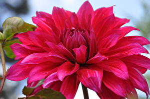 Bilder Dahlien Hautnah Rot Blüte
