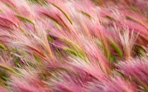 Hintergrundbilder Acker Gras Ähre Natur