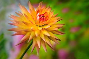 Hintergrundbilder Dahlien Großansicht Blumen