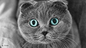 Hintergrundbilder Hauskatze Blick Schnurrhaare Vibrisse Schnauze Graue ein Tier