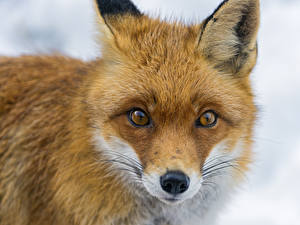 Hintergrundbilder Füchse Starren Schnauze Tiere