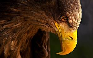 Photo Birds Eagle Beak Head Animals