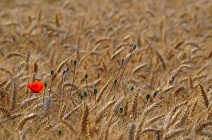 Bilder Felder Weizen Ähre