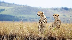 Pictures Cheetahs Big cats Two Grass Animals