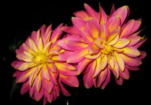 Hintergrundbilder Dahlien Nahaufnahme Rosa Farbe Blumen