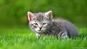Fotos Hauskatze Kätzchen Gras Graue Tiere