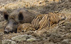 Wallpapers Wild pig Sleep