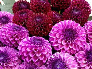 Hintergrundbilder Dahlien Großansicht Rosa Farbe Bordeauxrot Blumen