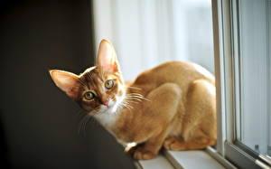 Fotos Hauskatze Fenster Ingwer farbe ein Tier