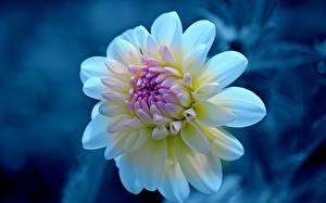 Bilder Dahlien Großansicht Blüte