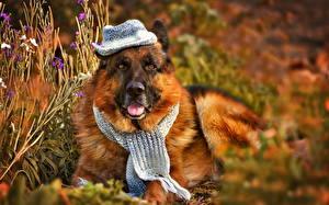 Bilder Hunde Shepherd Der Hut Gras Tiere