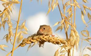 Bilder Nagetiere Mäuse Großansicht Ähre Tiere