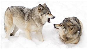 Image Wolves Two Snow Animals