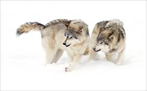 Pictures Wolves Two Snow animal