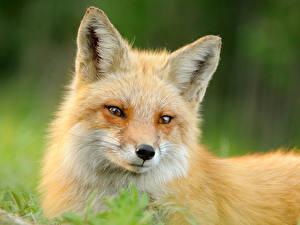 Hintergrundbilder Füchse Ingwer farbe Schnauze ein Tier