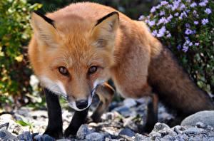 Hintergrundbilder Füchse Orange rot Schnauze Starren Tiere