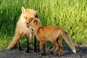 Images Foxes 2 Grass Animals