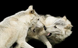 Picture Wolves White Two Animals