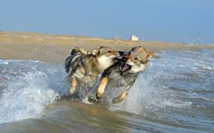 Image Dog Sea Coast Wolves Two Running Water splash Czechoslovakian Wolfdogs Animals