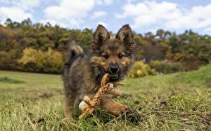 Fotos Hunde Welpe Gras Shepherd Tiere