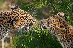 Pictures Big cats Leopard Two animal