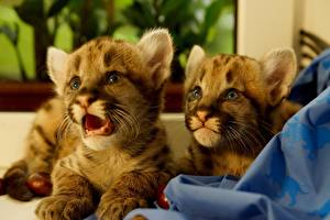 Pictures Pumas Big cats Cubs Two animal