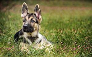 Bilder Hunde Shepherd Welpe Gras Tiere