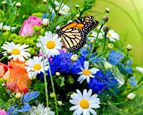 Bilder Kamillen Rosen Schmetterlinge Monarchfalter Blumen