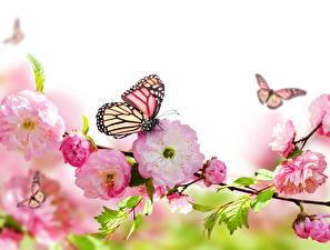 Fotos Blühende Bäume Schmetterlinge Nahaufnahme Monarchfalter Blüte