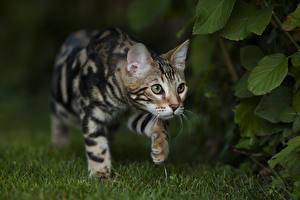 Fotos Katze Bengalkatze Gras