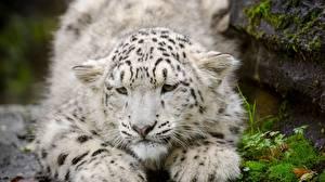 Bilder Schneeleopard Jungtiere Große Katze Tiere
